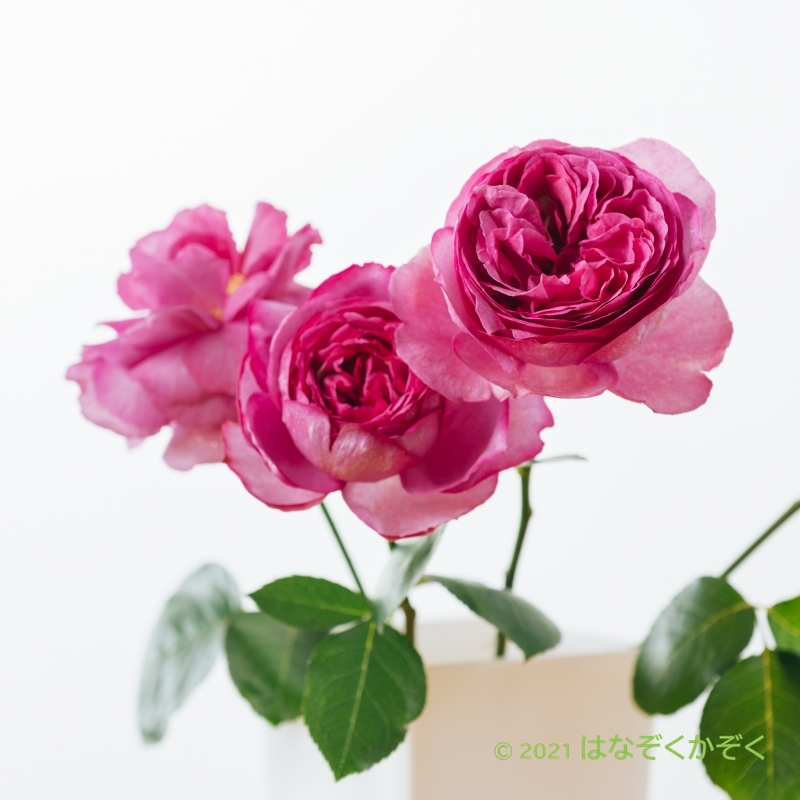 香りのバラ イヴピアッチェ3本+グリーン5本