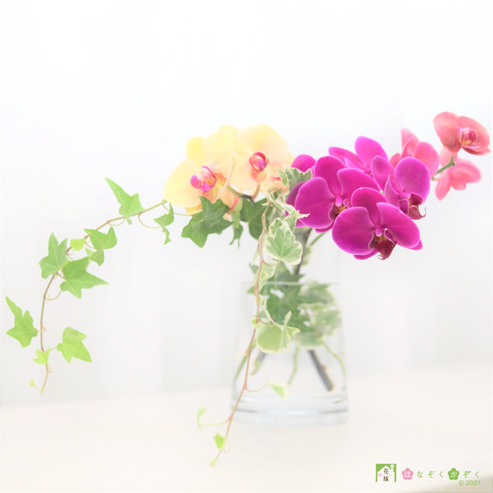 NEW)ミディ胡蝶蘭MIX3本+アイビー2本セット
