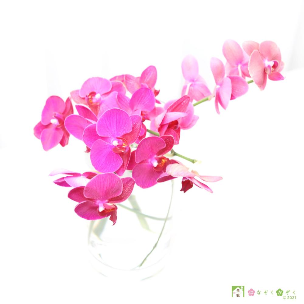 """月替り(10月)ミディ胡蝶蘭 ピンク """"クイーン""""5本セット"""