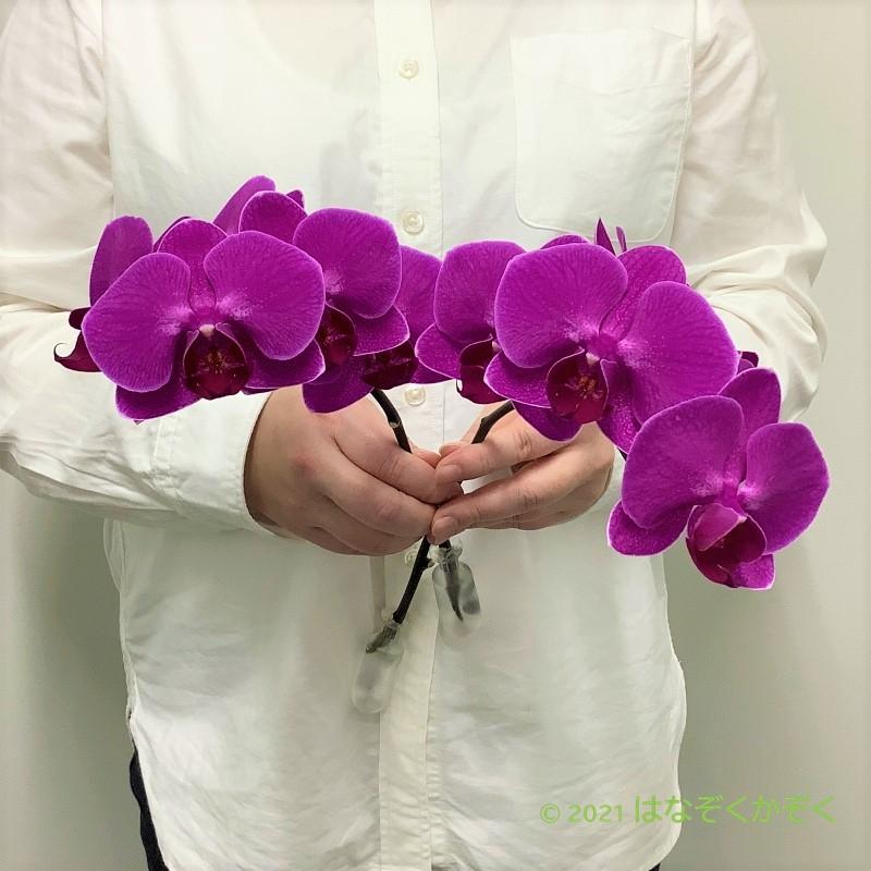 【大人気!】お試しミディ胡蝶蘭 ピンク 2本セット