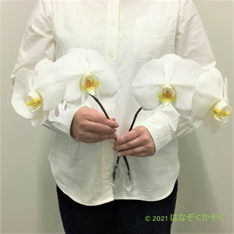 【大人気!】白大輪の胡蝶蘭 3輪 2本セット