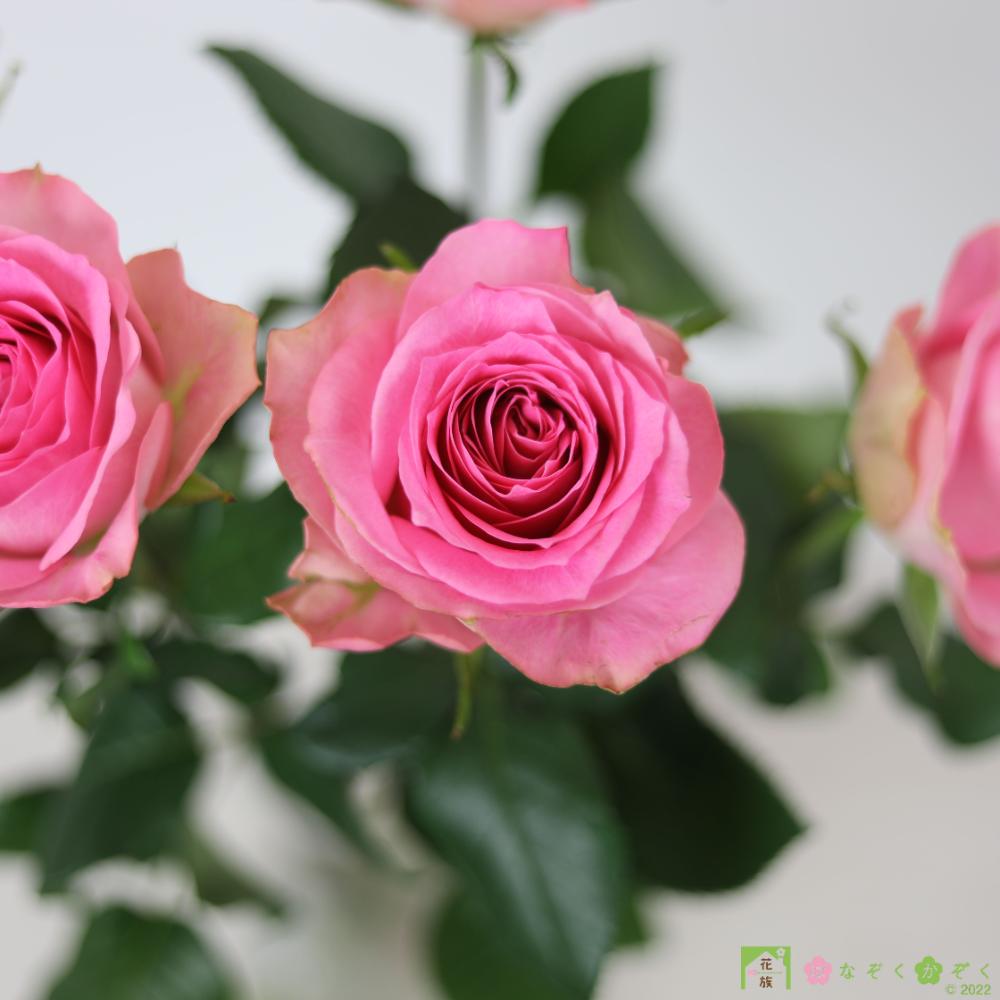 ハウスの中から最もゴージャスなバラを選び抜きました。ブロッサムピンク 10本