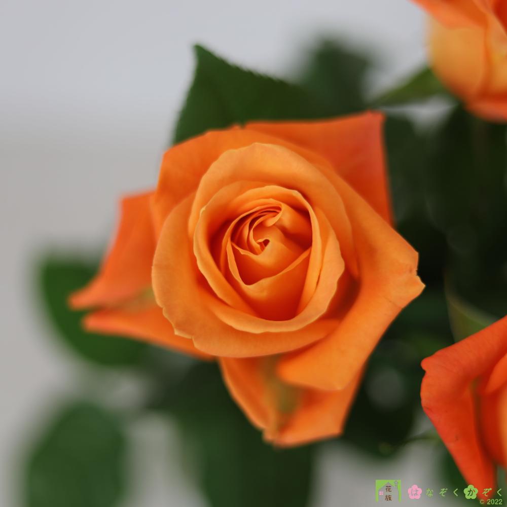 【バラ オレンジ】ハウスの中から最もゴージャスなバラをお届け。ブードゥー 10本
