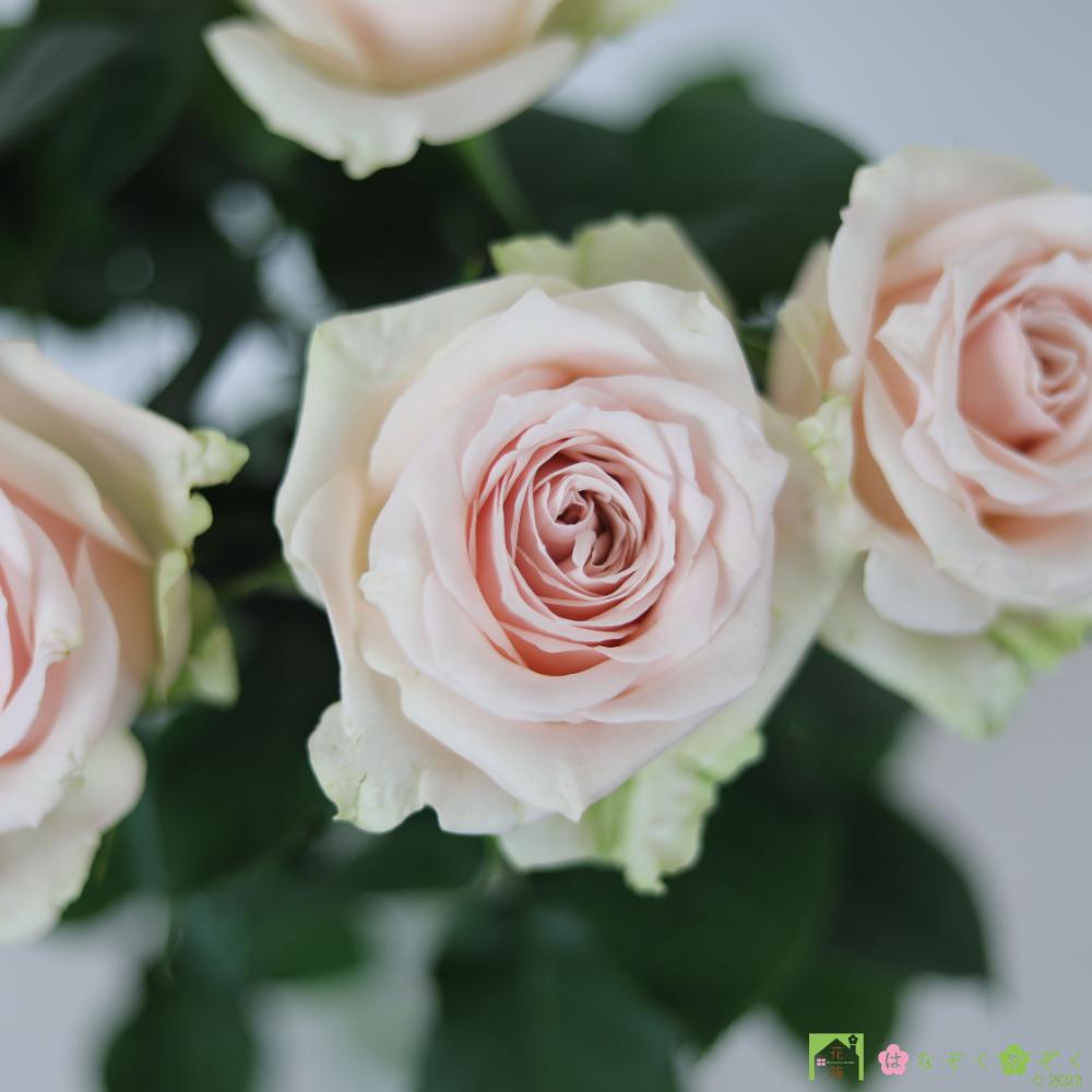 【バラ ピンク】ハウスの中から最もゴージャスなバラをお届け。ソメイユ 10本