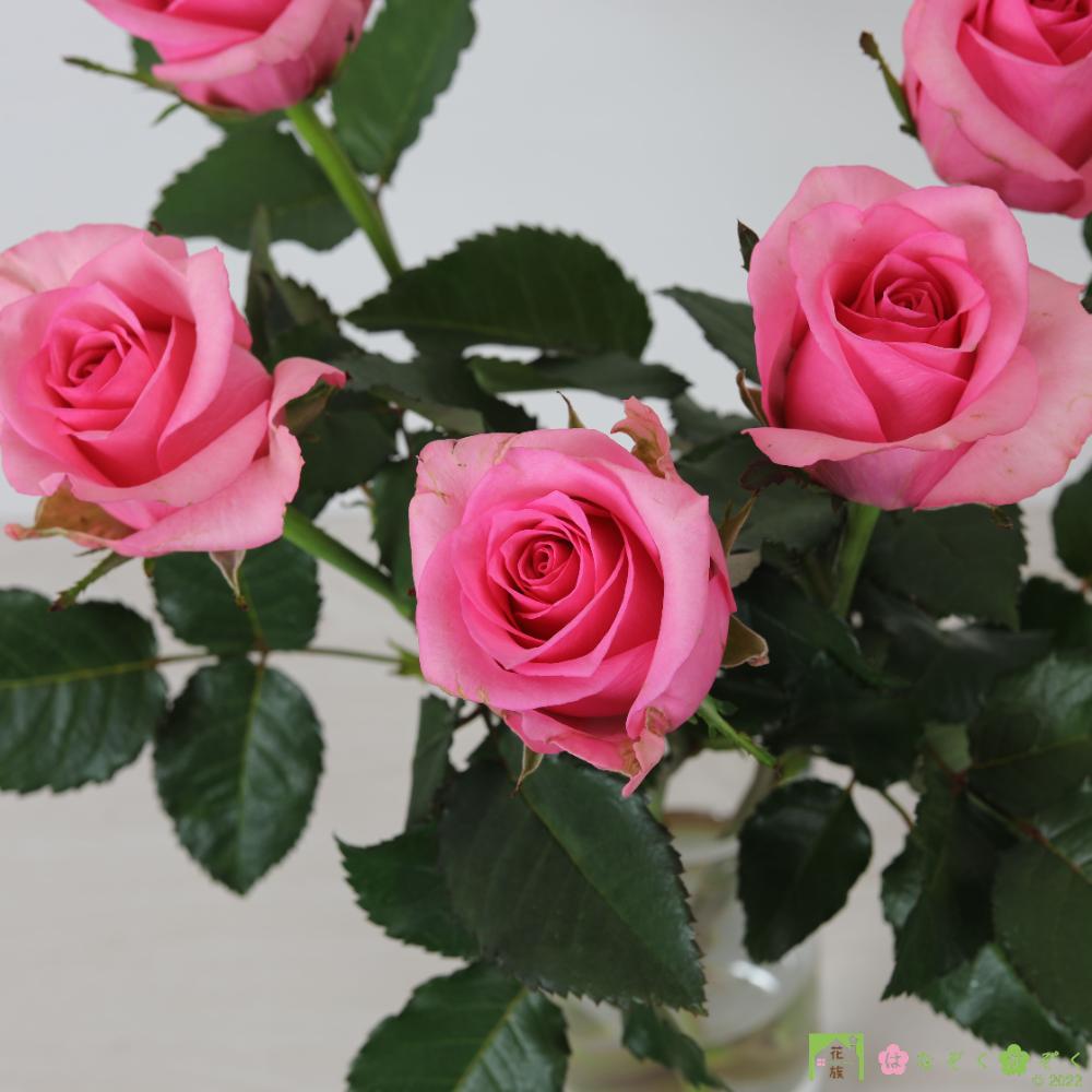 【バラ ピンク】ハウスの中から最もゴージャスなバラをお届け。ピンクフィズ 10本