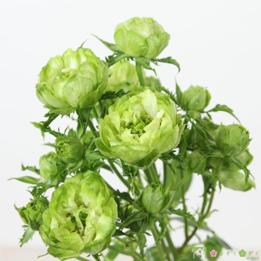 【バラ スプレー咲き】ハウスの中から最もゴージャスなバラをお届け。オリエンタルエクレール 10本
