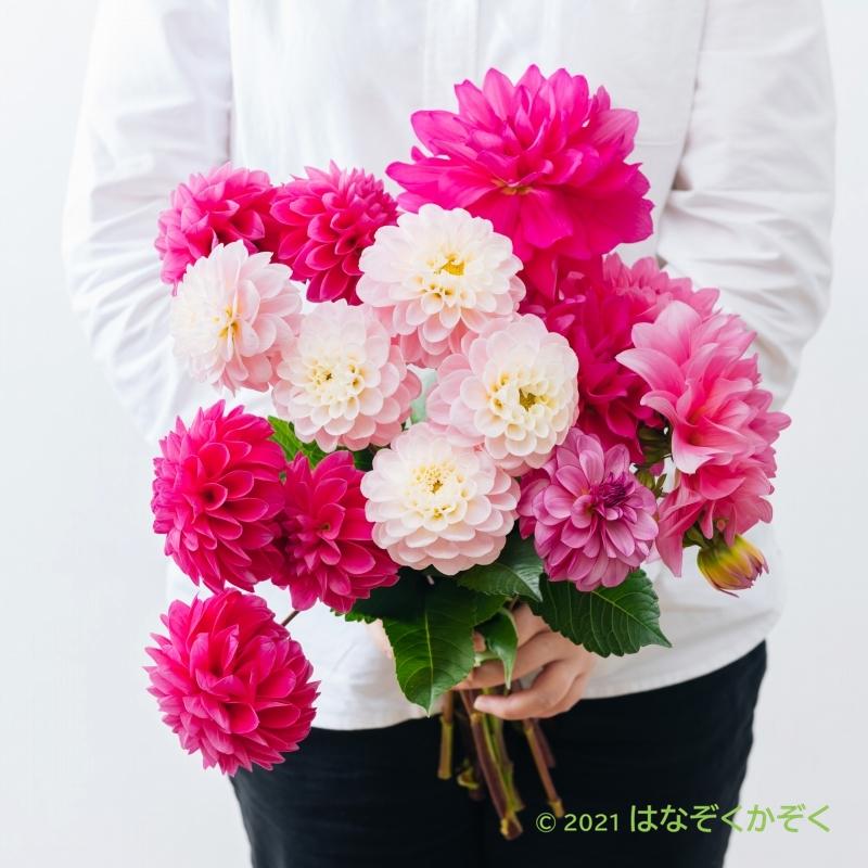 ダリア ピンク系MIX15本