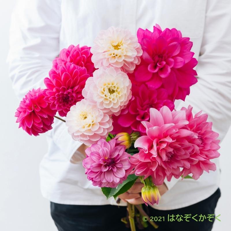 ダリア ピンク系MIX10本