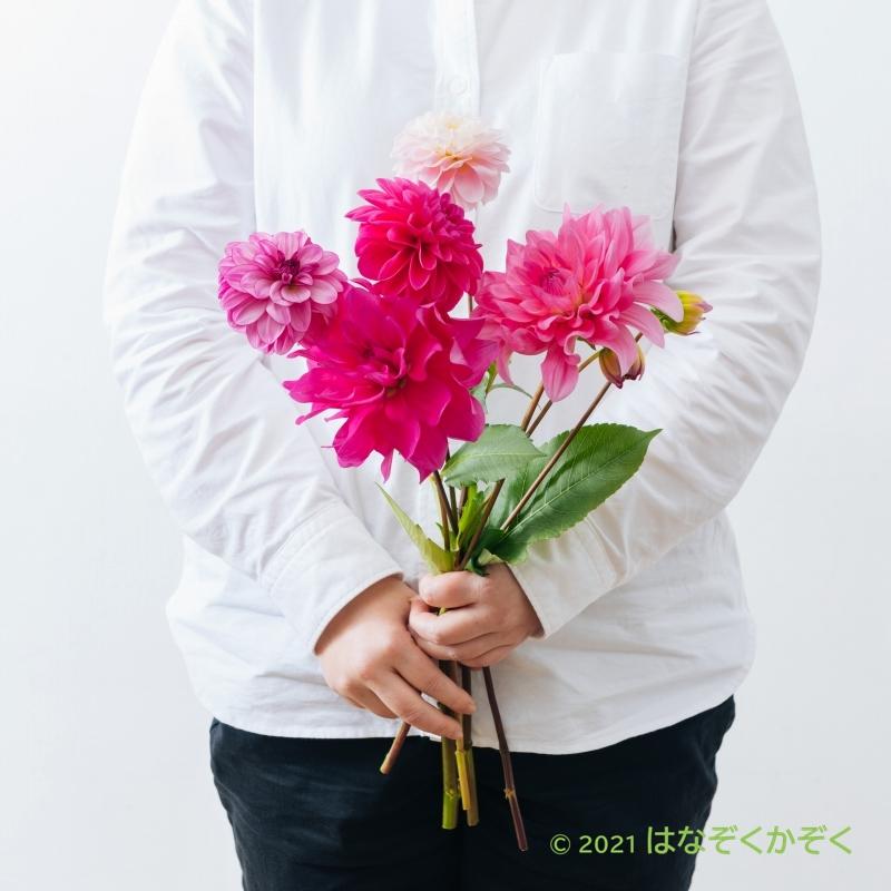 ダリア ピンク系MIX8本