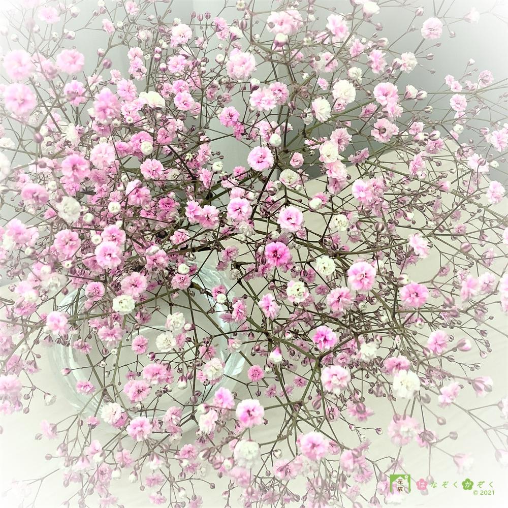 【NEW】福島県昭和村産のカスミ草(染めたカスミもセットしました)15本(3色:ナチュラルホワイト・染ピンク・染グランブルー)