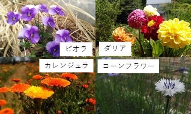 エディブルフラワー4種類 ビオラ ダリア カレンジュラ コーンフラワー